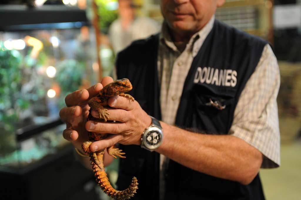 Cette photographie a été prise durant une saisie des services de la douane. Ce reptile est protégé par la Cites. Son commerce est soit interdit si son espèce est classée dans l'annexe 1 de la convention de Washington, soit très fortement contrôlée si elle appartient à l'annexe 2. © Marc Bonodot, douane française