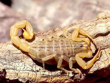 Mesobuthus gibbosus est une espèce de scorpion rencontrée en Syrie, Turquie, Grèce, Albanie, Bulgarie, Macédoine, Serbie et Monténégro. © Dietmar Huber