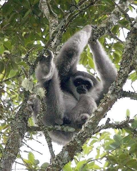 Le gibbon argenté de Java sait chanter, ce qui reste assez rare chez les primates. © Lip Kee, flickr, cc by sa 2.0