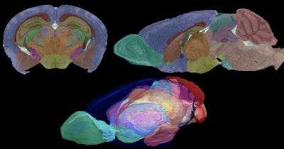 Les images du cerveau de souris, obtenues par résonance magnétique, sont isotropiques, c'est-à-dire que la résolution est aussi bonne quel que soit l'angle de vue adopté. Des coupes dans le plan frontal (en haut à gauche) ou dans le plan sagittal (en haut à droite) sont aussi informatives l'une que l'autre. © G. Allan Johnson, Duke Center for In Vivo Microscopy