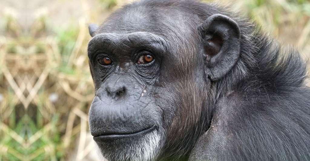 Chimpanzé. © Pixel-mixer, Pixabay, DP