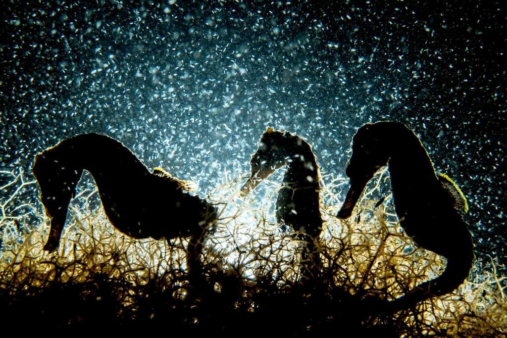Trois silhouettes d'hippocampes en contre-jour chevauchant dans une prairie d'algues. © Shane Gross, UPY 2018