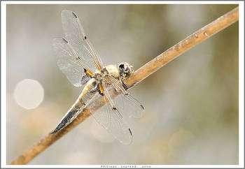 Libellule réserve naturelle du Pinail. © Philphotosite, Flickr CC by-nc-sa 2.0