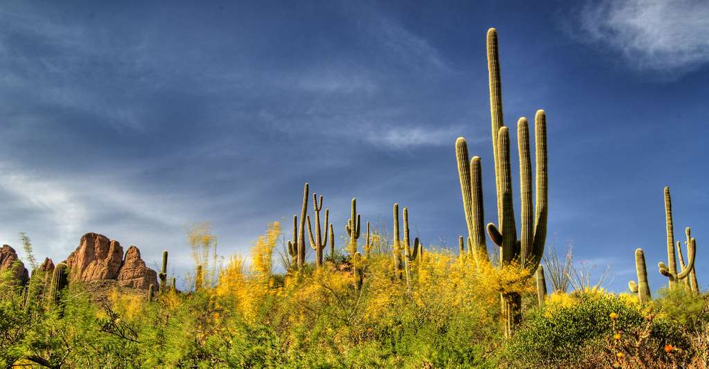 Castus Saguaro. © Max Ruckman - CC BY-NC 2.0