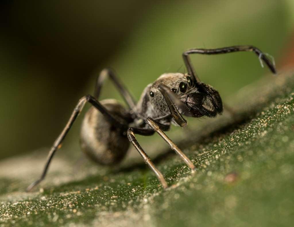 Le « lait » nutritif de l'araignée sauteuse Toxeus magnus est quatre fois plus riche en protéines que le lait de vache. © portioid, iNaturalist, CC by-sa
