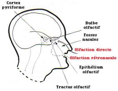 Zones du cerveau impliquées dans l'olfaction