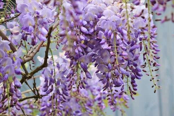 La glycine, un parfum délicat. © Cocoparisienne, Pixabay, DP