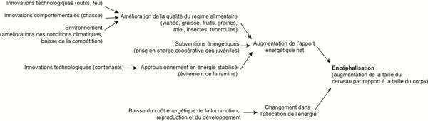 Graphique synthétique indiquant les différentes voies complémentaires conduisant à une augmentation relative de la taille du cerveau. Modifié à partir de Navarrette et coll. 2011, Nature