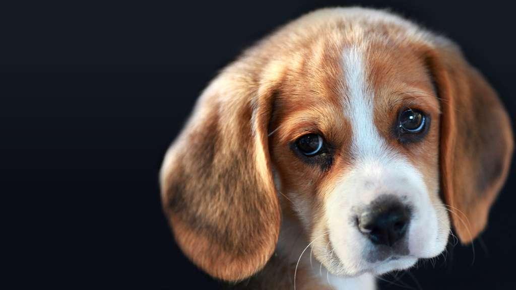 Comme les premiers chiens, le Beagle est un bon chien de chasse. Sociable et chaleureux, il est également un parfait compagnon pour l'humain. Retrouvez-le dans notre diaporama «Les chiens, nos meilleurs amis» © Tristan Nitot, Flickr, CC by nc-sa 2.0