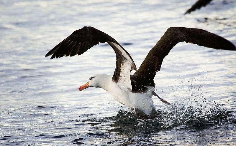 Décollage d'un albatros à sourcil noir. © David, CC-by-2.0