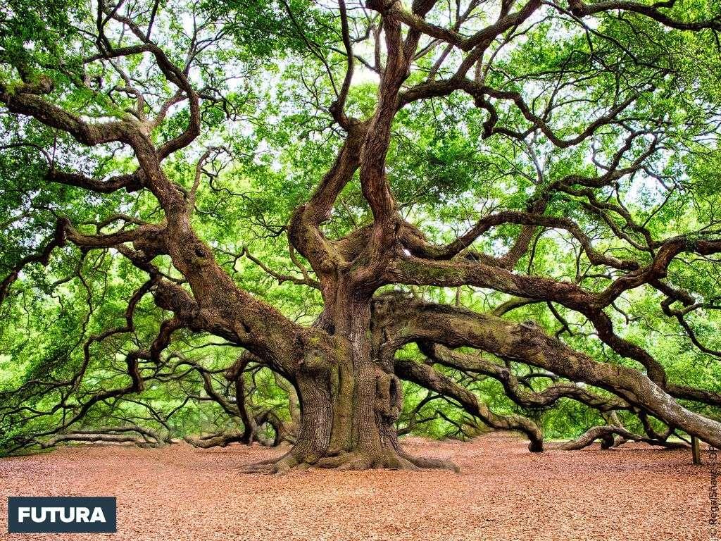 L'Arbre Ange (Caroline du Sud) : un chêne vénérable de 1500 ans, 20 m de haut, 8,5 mètres de circonférence