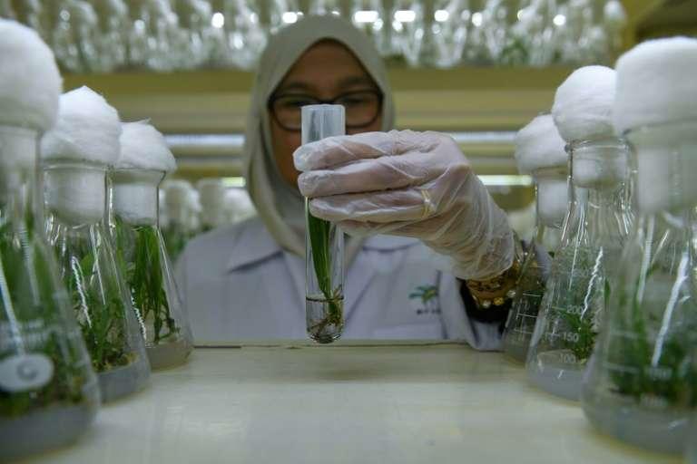 Des plants de palmiers nains en éprouvettes dans un laboratoire à Bangi, le 18 décembre 2018 en Malaisie. © Mohd Rasfan - AFP
