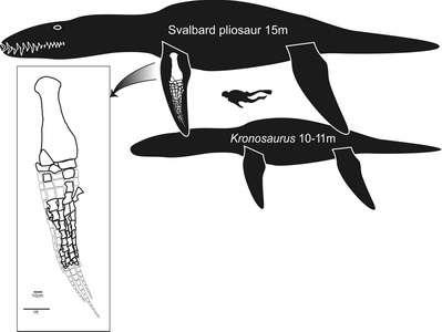Figure 1. Comparaison de la taille du spécimen (Svalbard pliosaur, soit pliosaure du Spitzberg), baptisée Le Monstre, avec une autre espèce de pliosaure, plus commune, le Kronosaurus. Notez la taille du plongeur. Crédit : Natural History Museum, Université d'Oslo, Norvège