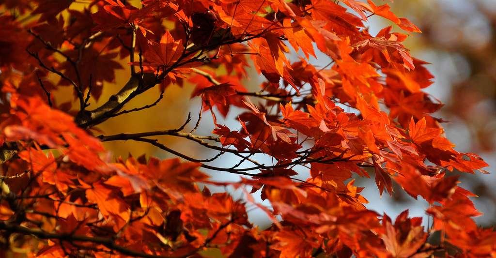 Feuilles rouges d'érable du Japon (Acer palmatum). © Kanegen, CC by 2.0