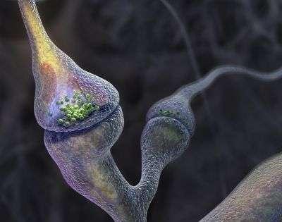Sur cette image, on peut observer une synapse, c'est-à-dire la région de contact entre deux neurones. C'est à ce niveau que sont libérées des vésicules qui transportent des neurotransmetteurs d'un neurone à l'autre. La protéine NLG1, dont la synthèse est diminuée au cours de la maladie d'Alzheimer, participe à l'adhésion des vésicules au niveau du neurone postsynaptique. © Graham Johnson Medical Media, Boulder, Colorado