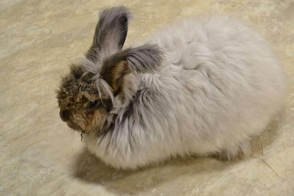 Le lapin angora possède une mutation génétique qui rend le poil plus long. © K-W Knitters' Guild, Flickr