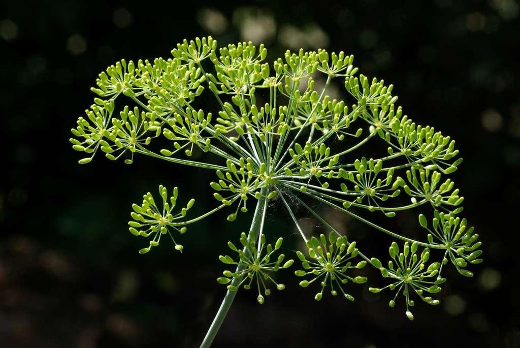 Aneth (Anethum graveolens). © JLPC, CC by-nc 3.0