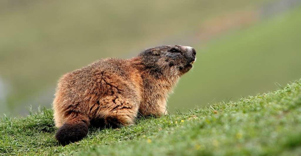 Une marmotte à l'affût. © Benh Lieu Song, Wikimedia commons, CC by-sa 3.0