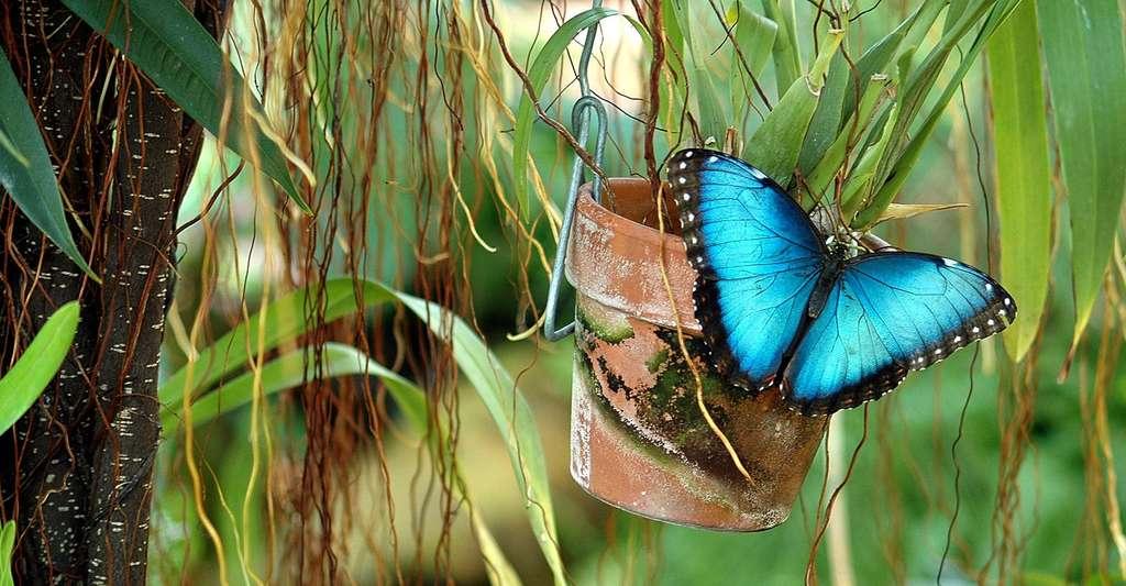 Le morpho bleu. © Paulbr75, Pixabay, DP