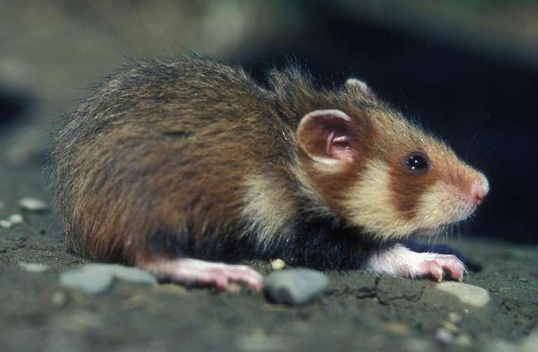 Le hamster d'Europe, aussi appelé grand hamster d'Alsace, voit son taux de reproduction en chute libre. Il est aujourd'hui inscrit en danger critique sur la liste rouge de l'IUCN. © Gérard Baumgard, AFP archives