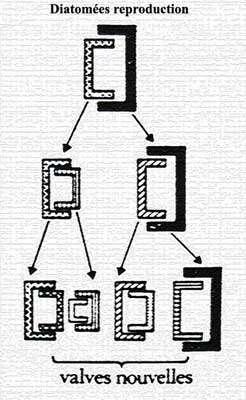 Division de diatomée : la cellule grandit, provoquant l'écartement des valves externes, puis se divise (apparition de deux cellules, donc de deux noyaux). Deux nouvelles valves sont produites. Chaque descendant possède une valve du parent. © DR