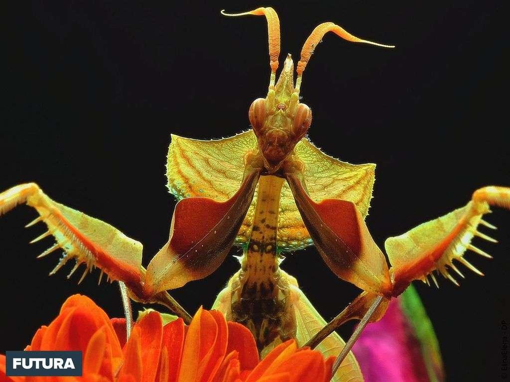 Mantis du diable : la plus grande espèce de mante religieuse