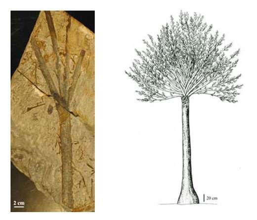 Fig. 13 à gauche : Pseudosporochnus. Une branche à ramification digitée caractéristique. A droite Fig. 14 : Pseudosporochnus Reconstitution du petit arbre.