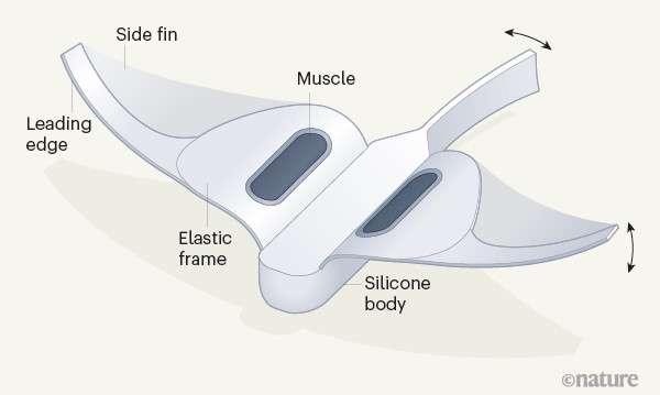 Le robot a un corps en silicone et utilise des muscles pour se déplacer. © Nature