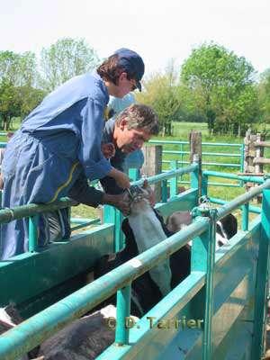 Soins Vétérinaires . © D. Tarrier - Tous droits de reproduction interdit