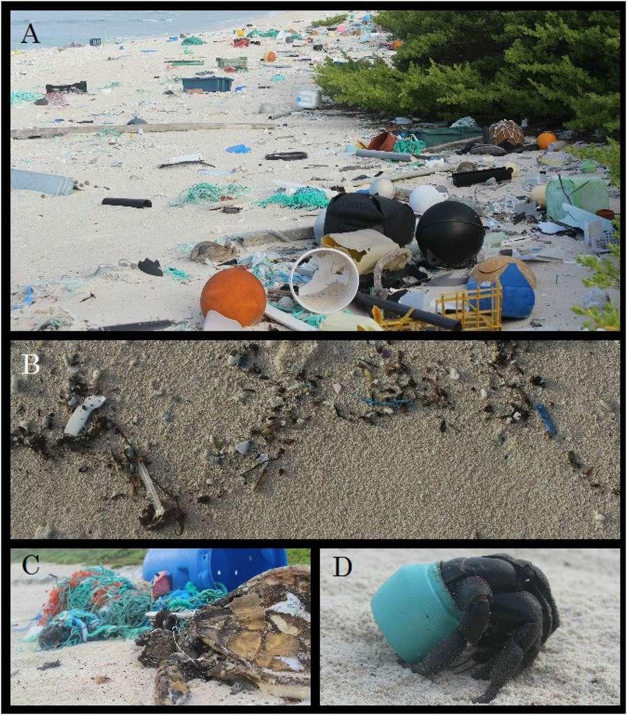 L'accumulation de déchets sur les plages de l'île Henderson. La plupart proviennent de matériels de pêche venus du Chili, de la Chine et du Japon, affirment les auteurs de l'étude. En B, un détail de la ligne de la plus haute marée de la plage du nord. Il y a peu de débris car c'est la quantité déposée en une journée après nettoyage de l'endroit par les chercheurs. En C, une tortue (Chelonia mydas) s'emmêle dans les filets de pêche et en D, un cénobite (Coenobita spinosa), cousin du bernard-l'hermite, n'a pas choisi un morceau de noix de coco, comme le font d'ordinaire ses congénères. © J. Lavers et al., Pnas