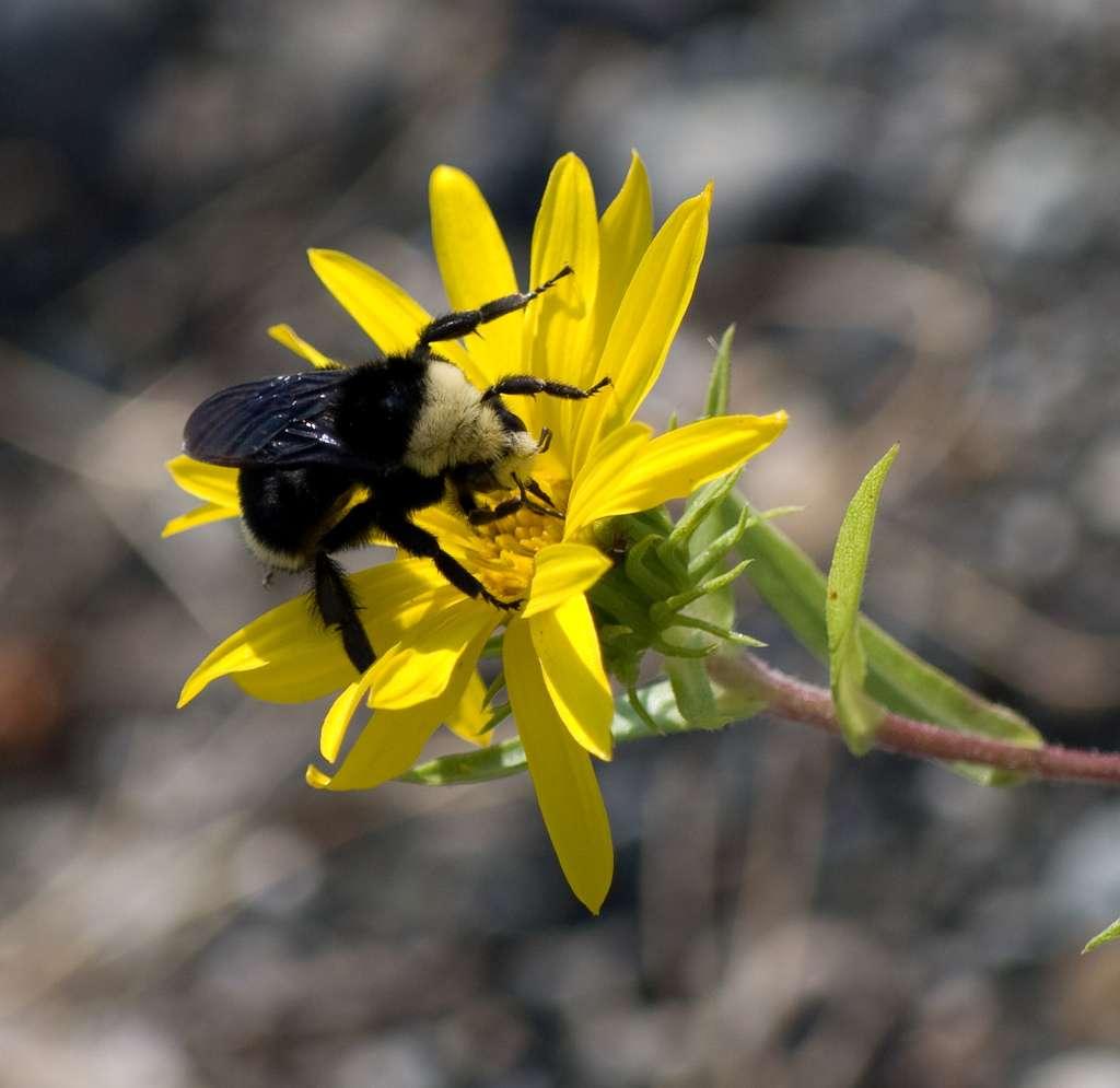 Les bourdons, comme ce Bombus vosnesenskii, sont de très bons pollinisateurs. Ils sont en effet plus gros et plus lourds que les abeilles et peuvent donc transporter plus de pollen. Par ailleurs, ces insectes font également mieux « vibrer » les fleurs, ce qui leur permet d'extraire une plus grande quantité de matière nutritive. © wrygrass2, Flickr, cc by nc sa 2.0