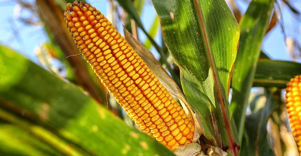 Tout savoir sur le maïs, cette céréale aux précieux grains. © Jurajko, DP