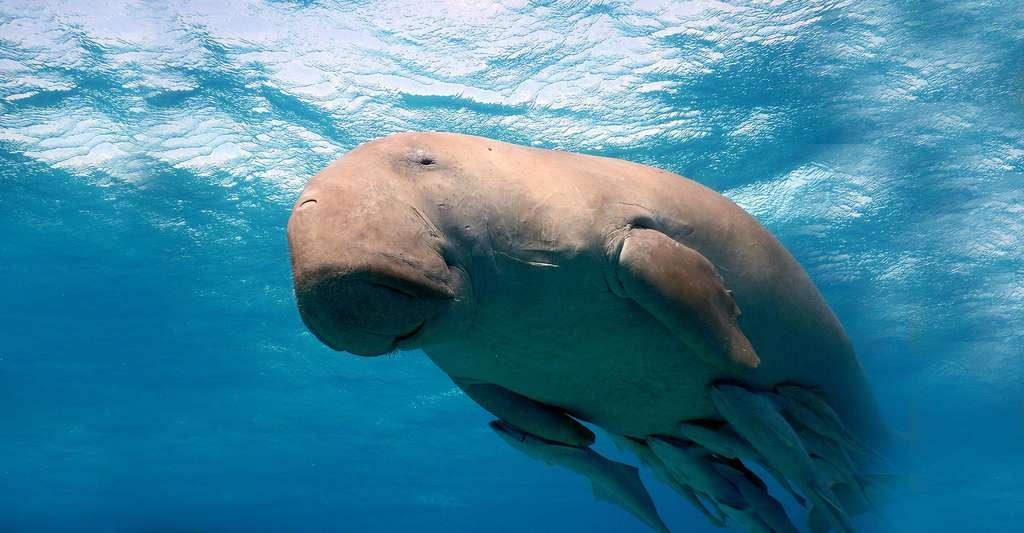 Les dugongs sont en danger. © AG Owen, Fotolia