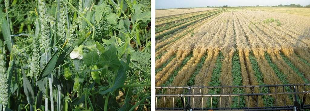 Association de blé et pois en Anjou France à gauche et blé et soja à droite aux États-Unis. © Bruno Parmentier, tous droits réservés