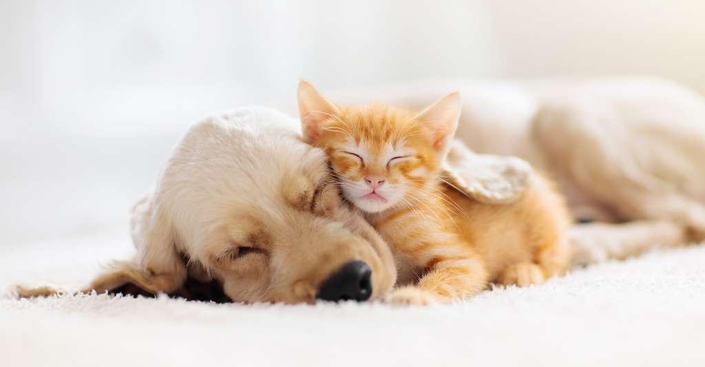 Les scientifiques se sont intéressés au génome du chat. © famveldman, Adobe Stock