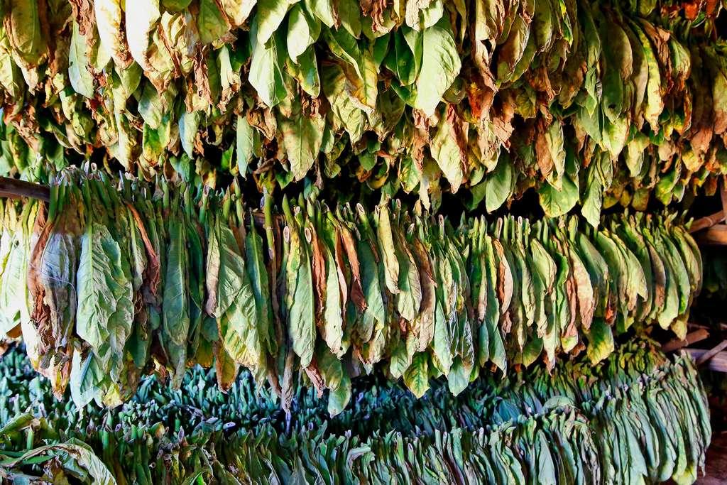 Culture du tabac dans la vallée de Viñales
