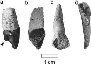 Des dents qui ont sans doute appartenu à un lointain ancêtre qui est aussi celui des grands singes africains actuels. © Yutaka Kunimatsua et al.