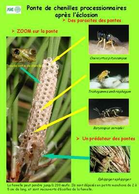 Dès la ponte déposée par la femelle, les parasites et les prédateurs des œufs vont intervenir et jouer ainsi le premier rôle dans la régulation naturelle. © DR