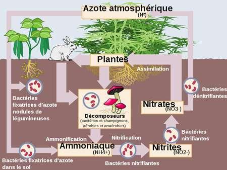 L'azote est assimilé par les plantes. © Ocal, Architetto Francesco Rollandin Danny Allen, Wikipédia