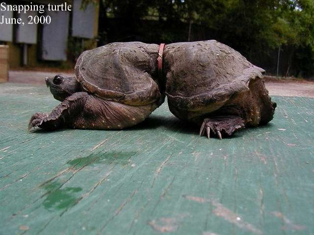 Cette tortue serpentine (Chelydra serpentina) a un jour croisé la route d'un rond de plastique issu d'une bouteille de lait. N'ayant jamais réussi à s'en débarrasser, son corps a dû s'adapter. © Algalita Marine Research Institute