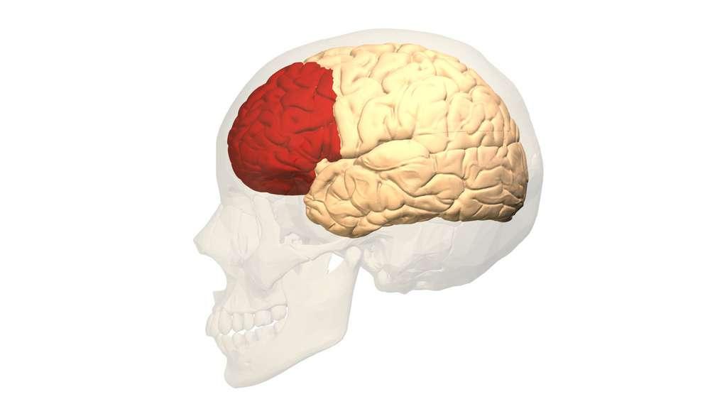 Cortex préfrontal. © Polygon data, wikimedia commons, CC 2.1 Japan