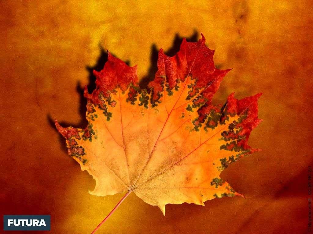 Feuille d'érable en automne