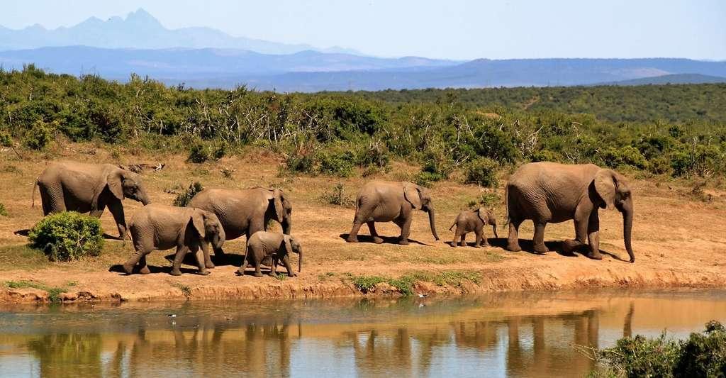 Les éléphants d'Afrique sont les mammifères qui dorment le moins au monde. Pas plus de deux heures par jour. © cocoparisienne, Pixabay, CC0 Public Domain