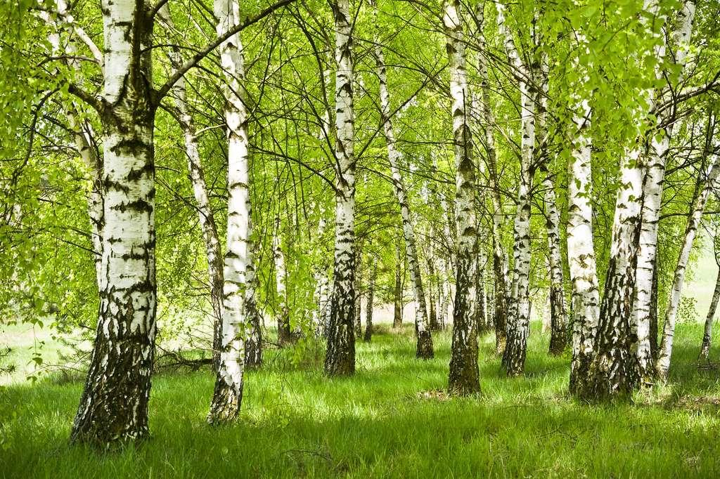 Les pollens de bouleau et des autres arbres de la famille des bétulacées sont très allergènes. © IreneuszB, Fotolia