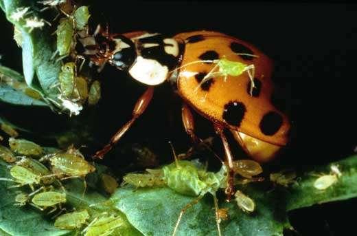 Coccinelle (Coléoptère) parmi ses proies constituées de pucerons (Homoptères). © Photo C. Slagmulder/INRA.- Toute reproduction et exploitation interdites