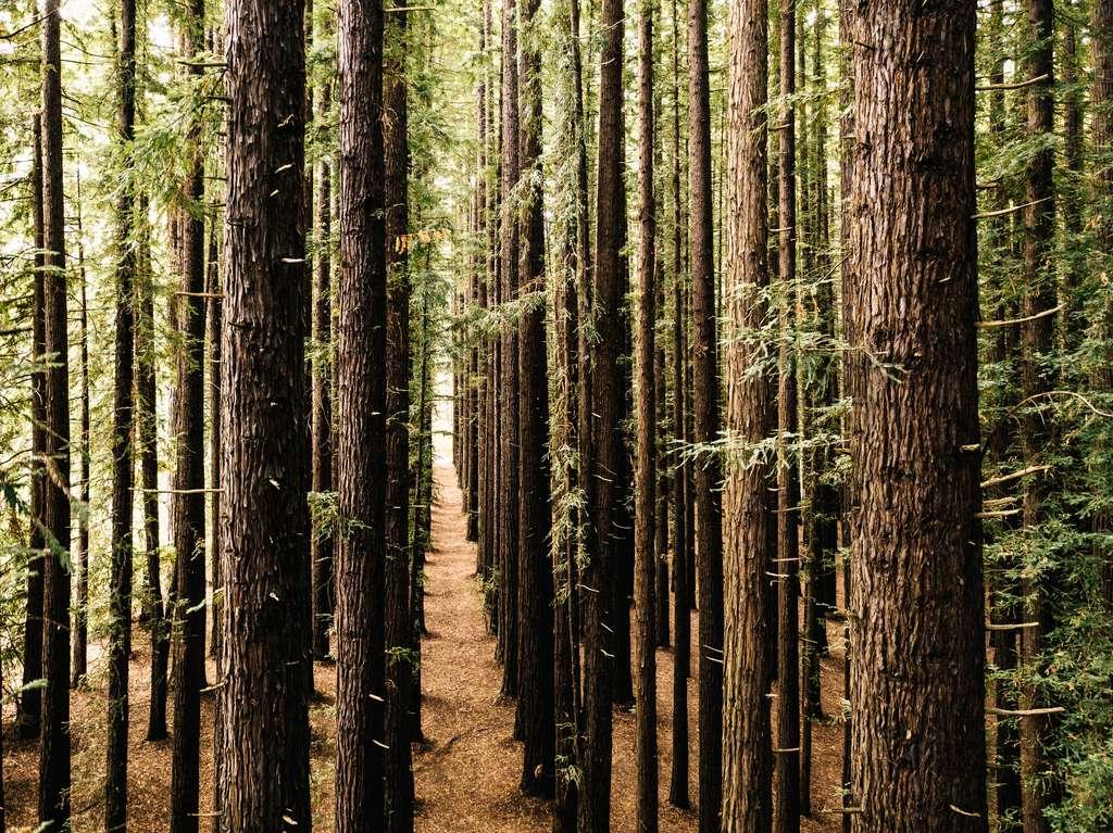 Les forêts plantées sont malheureusement beaucoup moins efficaces que les forêts naturelles pour stocker le CO2. © DR