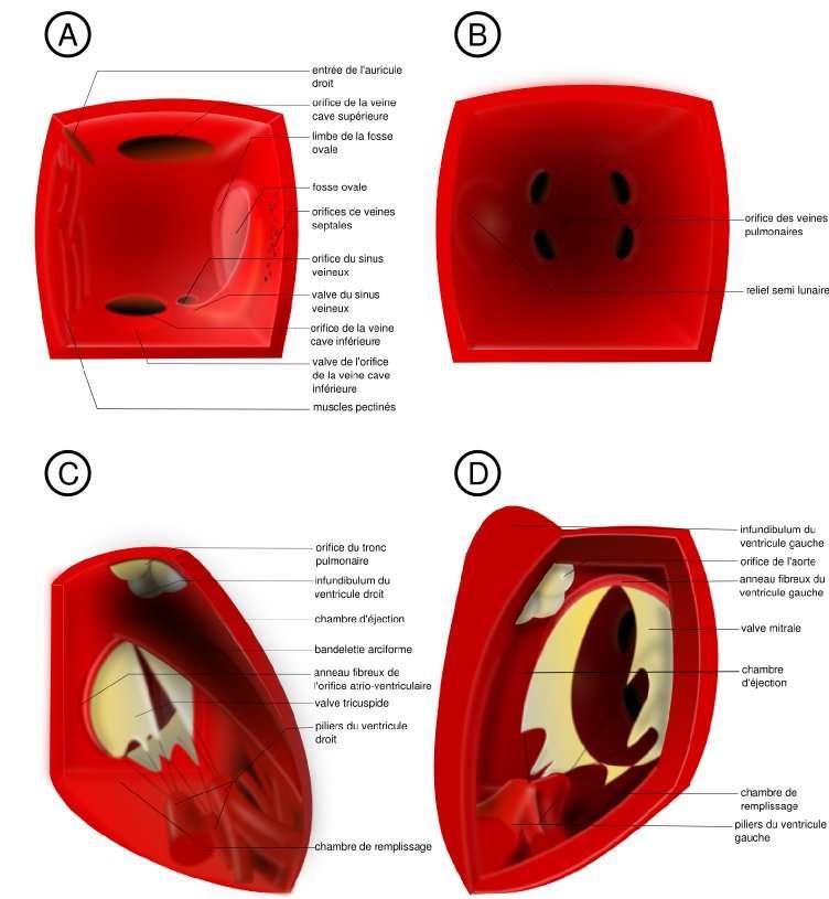 Figure 3. Anatomie interne du cœur humain. A : oreillette droite, l'observateur se situe au niveau de la valve tricuspide. B : oreillette gauche, l'observateur se trouve au niveau de la valve mitrale. C : ventricule droit. La paroi antérieure a été retirée et la dimension de la bandelette arciforme exagérée afin de bien montrer la séparation entre les deux chambres ventriculaires. D : ventricule gauche, le septum interventriculaire a été retiré. © Hugues Jacobs