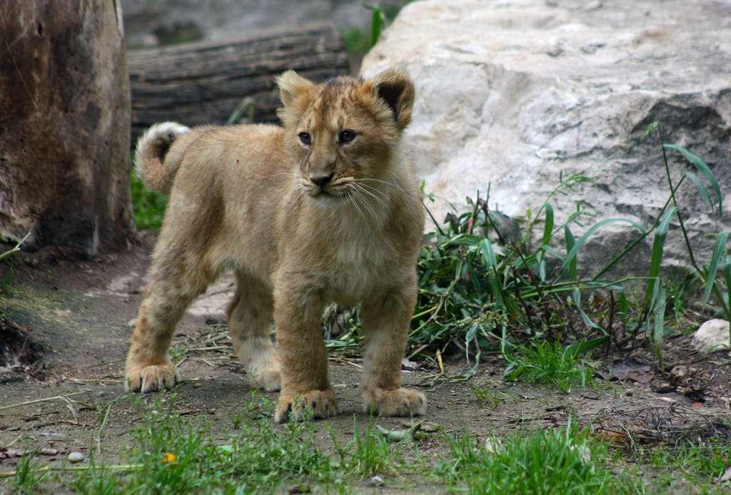 Lionceau. © Patrick Straub