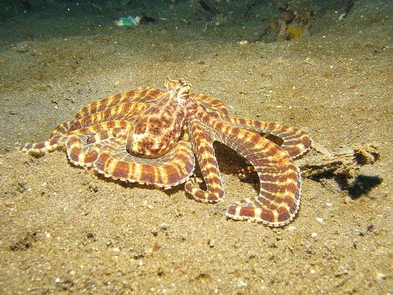 Thaumoctopus mimicus. © Silke baron, CCA 2.0 Generic license
