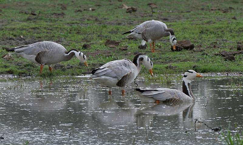 Les oies à tête barrée cherchent leur nourriture en glanant. © J.M. Garg, Wikipedia, GNU FDL 1.2